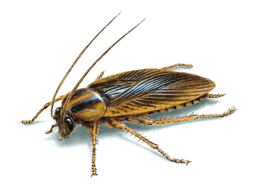 german cockroaches are cryptobiotic